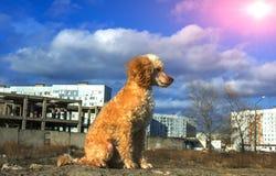 奶油色颜色逗人喜爱的长卷毛狗小狗在日落的 免版税图库摄影
