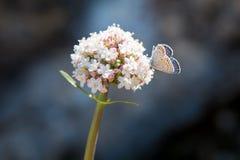 奶油色蝴蝶白色桃红色花 库存图片