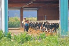奶牛健康和饮食 免版税库存图片