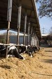 奶牛吃秸杆 库存图片