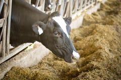 奶牛吃 免版税库存图片