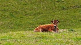 奶牛嚼它的反刍食物 影视素材
