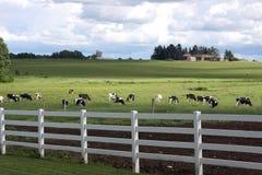 奶牛场黑白花牛 库存图片