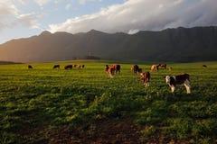 奶牛场 库存图片