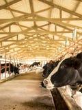 奶牛牛在食品工业的农场,泰国 免版税库存图片