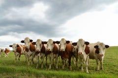 奶牛牧群在一个绿色牧场地 免版税库存图片