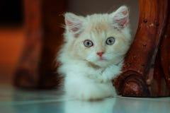 她是懒散的一只波斯猫小猫 免版税库存图片