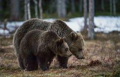 她熊和熊崽在沼泽 免版税库存图片