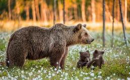 她熊和playfull小熊 在沼泽的白花在夏天森林里 库存照片