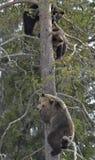 她熊(熊属类arctos)与在杉树的熊崽 库存图片
