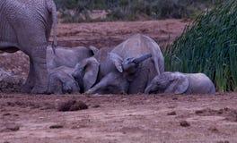 她的母亲被压的婴孩大象 免版税库存照片