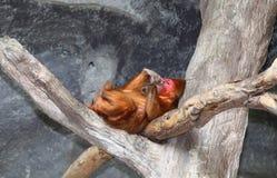 她的短尾猿放松树桩被盯梢的结构树 免版税库存照片