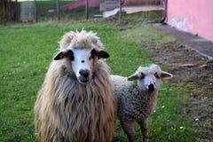她的羊羔绵羊 免版税库存照片