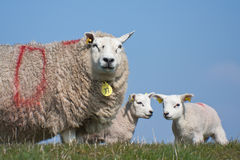 她羊羔绵羊 库存照片