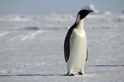 好奇企鹅 库存照片