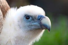 好奇兀鹫的头欺骗fulvus 库存图片