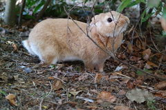 好奇兔子 库存图片