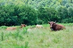 好奇吃草的母牛 免版税库存照片