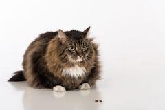 好奇和恼怒的黑暗的猫坐白色桌 奶油被装载的饼干 食物和平  图库摄影