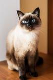 好奇和机敏的公猫 库存图片