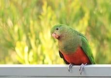 好奇国王Parrot 免版税库存照片