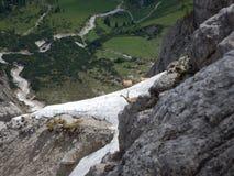 好奇地检查方式的害羞的山高地山羊 库存照片