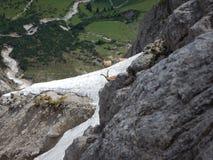 好奇地检查方式的害羞的山高地山羊 免版税库存图片