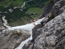 好奇地检查方式的害羞的山高地山羊 免版税库存照片