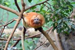 好奇地看在动物园的狮子顶头猴子 免版税库存照片