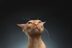 好奇地看在背景的照相机的特写镜头滑稽的姜Sphynx猫 免版税图库摄影