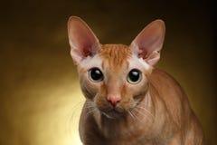 好奇地看在金子的照相机的特写镜头滑稽的姜Sphynx猫 库存图片