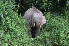 好奇大象在密林 库存照片