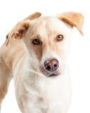 好奇大黄色猎犬杂种特写镜头 免版税库存照片