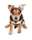 好奇奇瓦瓦狗被混合的品种三个月的小狗开会 免版税图库摄影