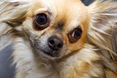 好奇奇瓦瓦狗 免版税库存照片
