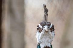 好奇孔雀,与两只眼睛的特写镜头画象 库存照片