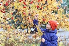 好奇孩子女孩从分支收集花楸浆果 孩子在有耳朵的一个滑稽的被编织的温暖的帽子打扮,看起来狐狸 图库摄影