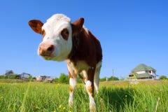 好奇小公牛犊的关闭获得 免版税库存图片