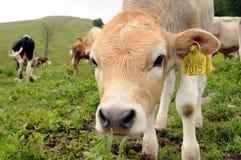 好奇小牛的母牛 免版税图库摄影