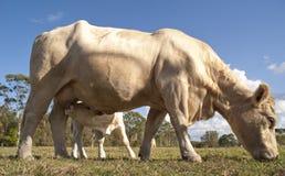 好奇小牛饮用奶,当看照相机时 库存照片