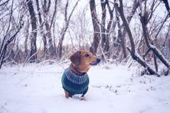好奇小狗,在格子花呢披肩外套 库存照片