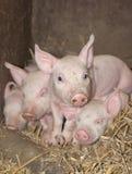 好奇小猪 库存图片