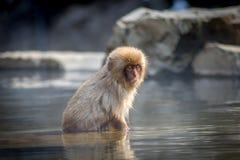 好奇小猴子在Onsen 免版税库存图片