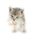 好奇小的猫 免版税库存图片