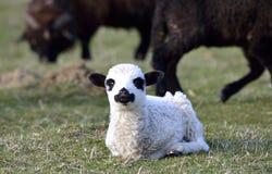 好奇小的羊羔 库存照片