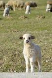 好奇小的羊羔 免版税库存图片