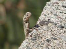 好奇小的蜥蜴 摆在摄影师 免版税库存图片