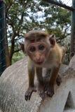 好奇小的猴子 图库摄影