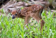 好奇小鹿 免版税库存照片
