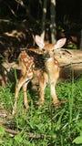 好奇小鹿 库存图片